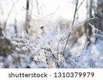 detail of winter frozen pine... | Shutterstock . vector #1310379979