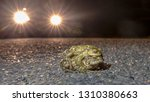 mating common toads  bufo bufo  ... | Shutterstock . vector #1310380663