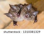 Two greater horseshoe bat ...