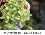 peppermint  mint  leaf  fresh ... | Shutterstock . vector #1310614616