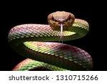 manggrove pit viper snake... | Shutterstock . vector #1310715266