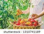 child collects a harvest of... | Shutterstock . vector #1310741189