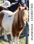 white and brown pony with long... | Shutterstock . vector #1310837303