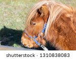 brown pony with long mane over... | Shutterstock . vector #1310838083