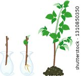 raspberry vegetative... | Shutterstock .eps vector #1310850350