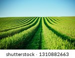 idyllic row of blackberry... | Shutterstock . vector #1310882663