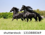 two friesian horses  black coat ... | Shutterstock . vector #1310888369