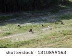 ludina  croatia   july 19 ...   Shutterstock . vector #1310899163