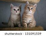 Stock photo two british shorthair kittens 131091539