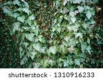 heather green ivy  spiral ... | Shutterstock . vector #1310916233