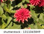 close up of a purple ball... | Shutterstock . vector #1311065849
