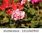 close up of a purple ball... | Shutterstock . vector #1311065903