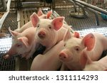 healthy weaned piglet in...   Shutterstock . vector #1311114293