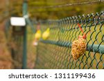 bird feeder  seeds for bird in...   Shutterstock . vector #1311199436
