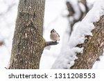 small tufted titmice titmouse... | Shutterstock . vector #1311208553