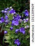 platycodon grandiflorus plant...   Shutterstock . vector #1311209609