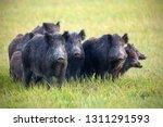 A Herd Of Wild Boars  Sus...