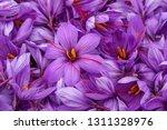 Harvest Flowers Of Saffron...