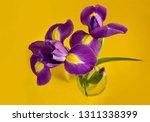 Three Purple Iris On A Yellow...