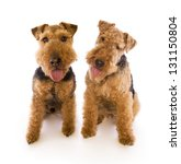 Two Welsh Terriers Sitting...