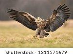 white tailed eagle  haliaeetus... | Shutterstock . vector #1311571679
