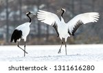 Small photo of Dancing Cranes. The ritual marriage dance of cranes. The red-crowned crane. Scientific name: Grus japonensis, also called the Japanese crane or Manchurian crane, is a large East Asian Crane.