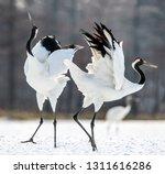 Dancing cranes. the ritual...