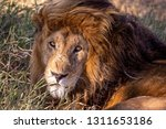 an aging serengeti lion rests...   Shutterstock . vector #1311653186