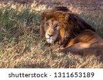 an aging serengeti lion rests...   Shutterstock . vector #1311653189