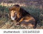 an aging serengeti lion rests...   Shutterstock . vector #1311653210
