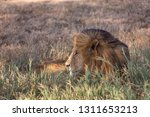 an aging serengeti lion rests...   Shutterstock . vector #1311653213