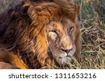 an aging serengeti lion rests...   Shutterstock . vector #1311653216