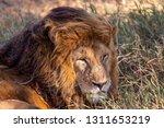 an aging serengeti lion rests...   Shutterstock . vector #1311653219