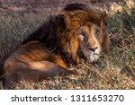 an aging serengeti lion rests... | Shutterstock . vector #1311653270