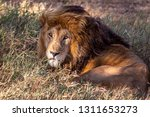an aging serengeti lion rests... | Shutterstock . vector #1311653273