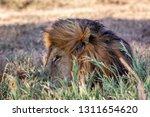 a majestic lion contemplates... | Shutterstock . vector #1311654620