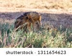 a majestic lion contemplates... | Shutterstock . vector #1311654623