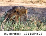 a majestic lion contemplates... | Shutterstock . vector #1311654626