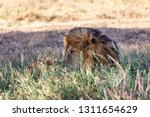 a majestic lion contemplates... | Shutterstock . vector #1311654629