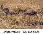 young antelopes practice...   Shutterstock . vector #1311655826