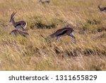 young antelopes practice...   Shutterstock . vector #1311655829