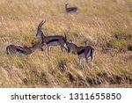 young antelopes practice... | Shutterstock . vector #1311655850
