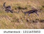young antelopes practice... | Shutterstock . vector #1311655853