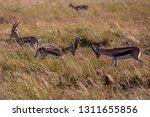 young antelopes practice... | Shutterstock . vector #1311655856