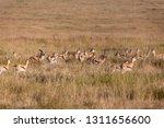 an antelope herd on a sea of...   Shutterstock . vector #1311656600