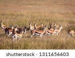 an antelope herd on a sea of...   Shutterstock . vector #1311656603