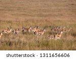 an antelope herd on a sea of...   Shutterstock . vector #1311656606