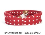 Stock photo red spotted empty pet bed with little jack russel puppy 131181980