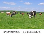 cows  on a summer pasture   Shutterstock . vector #1311838376