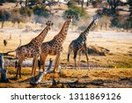 Three Giraffes Walking Through...